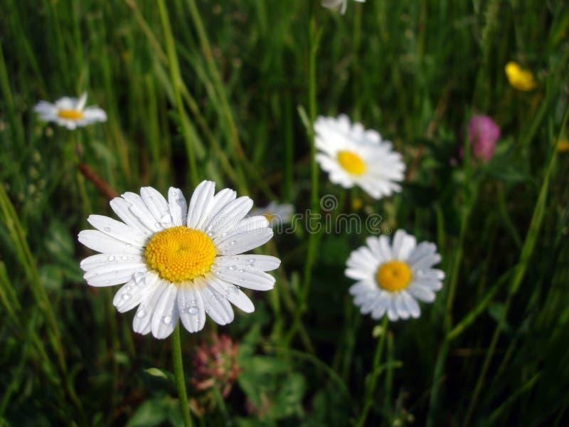 Biali margaritas po podeszczowego kwiatu w wiośnie zdjęcie royalty free