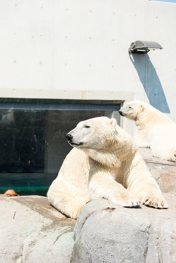 Biali niedźwiedzie przy zoo zdjęcie stock