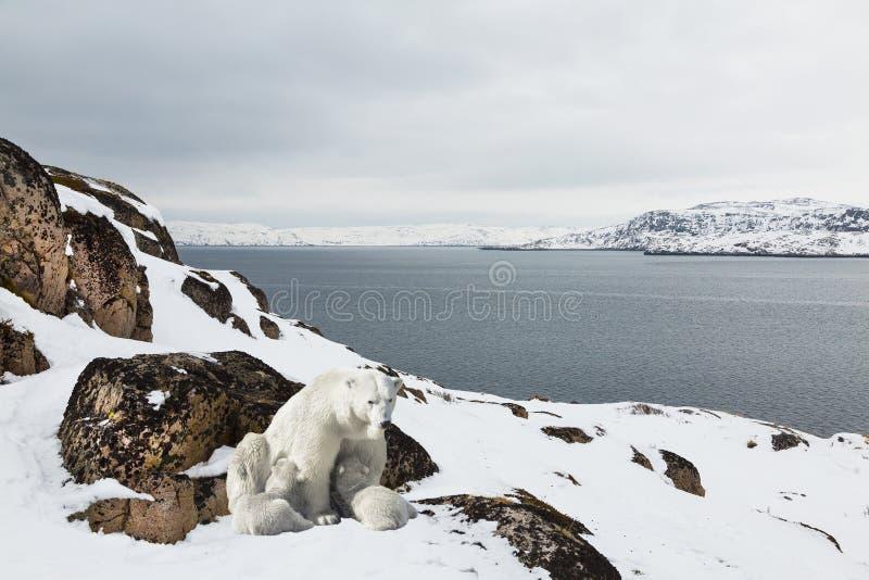 Biali niedźwiedzie z lisiątkami na wyspie zdjęcie stock