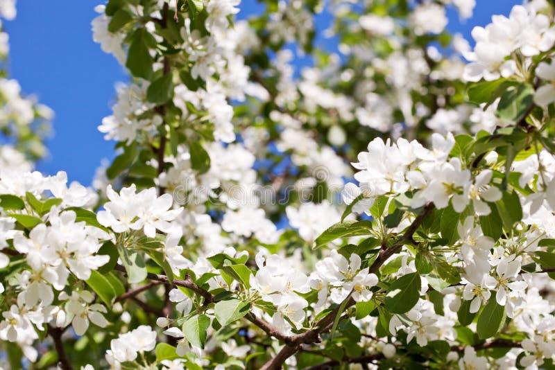 Biali okwitnięcia jabłoń obrazy royalty free