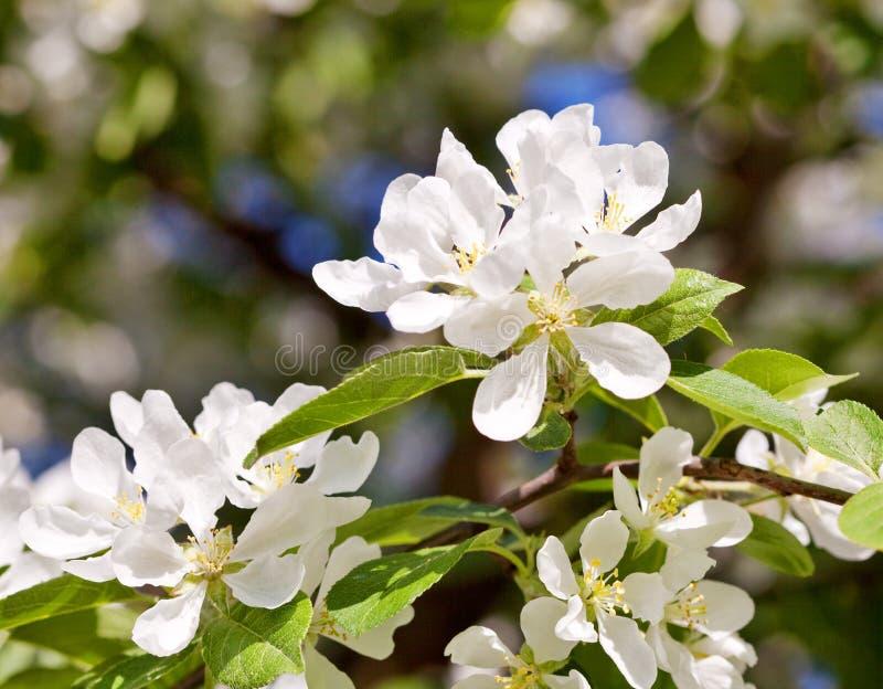 Biali okwitnięcia jabłoń zdjęcie royalty free