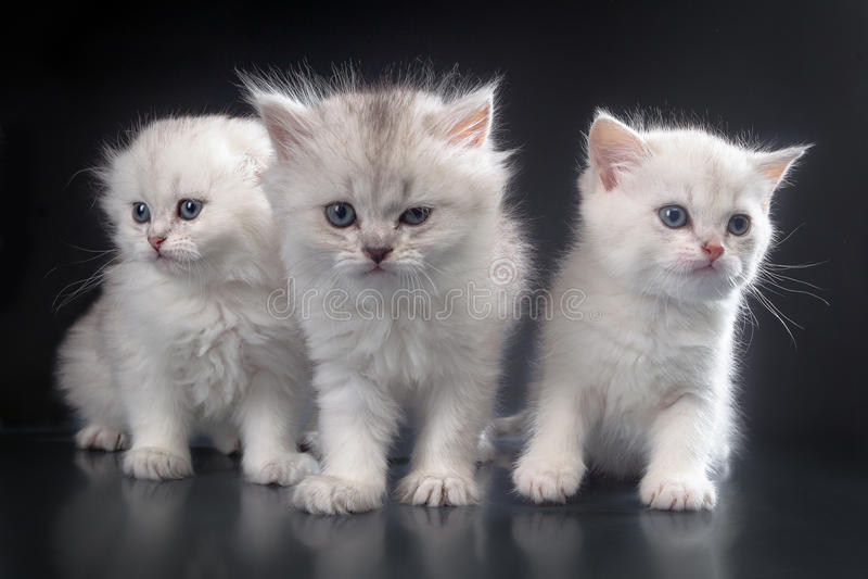 Biali Perscy kicia koty zdjęcia royalty free