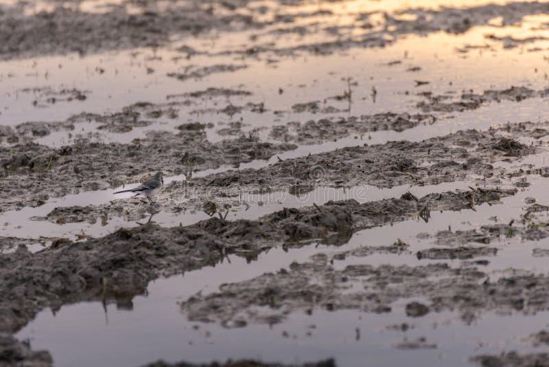 Biali pliszki Motacilla albumy w ryżu polu stronniczo zalewali w naturalnym parku Albufera, Walencja, Hiszpania zdjęcie stock