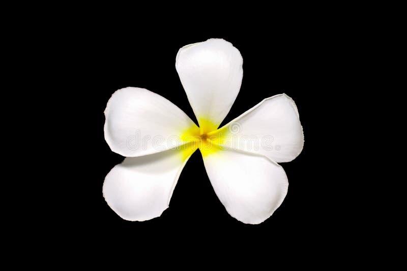 Biali plumeria frangipani kwiaty odizolowywający na czarnych tła leelawadee kwiatach odizolowywających na czarnym tle zdjęcie stock