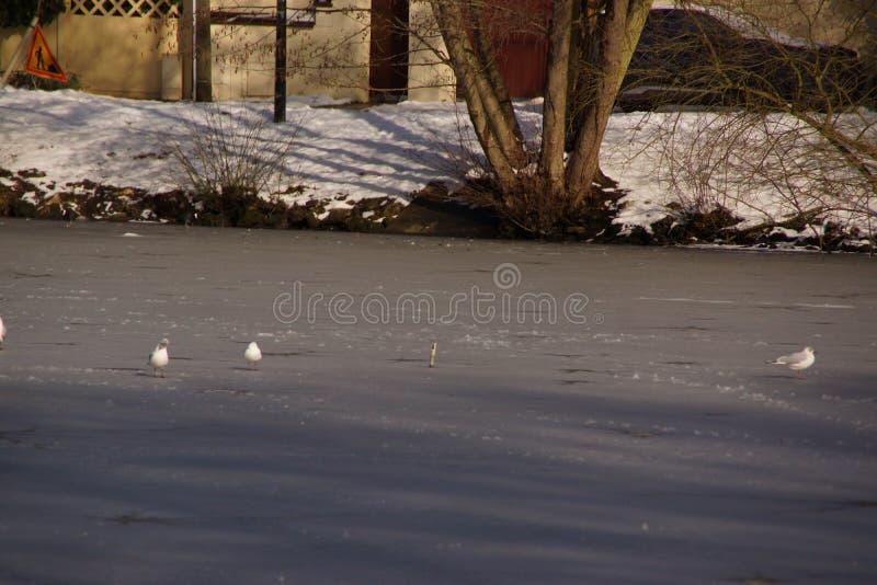 Biali ptaki - staw niemowa w mieście Elancourt w Francja zdjęcie royalty free