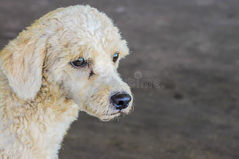 Biali pudla trakenu psy robią smutnym twarzom czeka jeść obraz royalty free