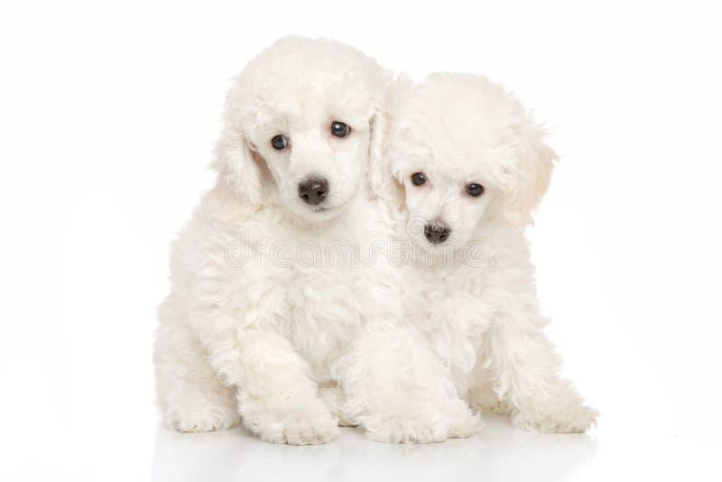 Biali pudli szczeniaki zdjęcie stock