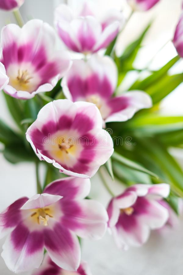Biali purpurowi tulipany zdjęcie royalty free