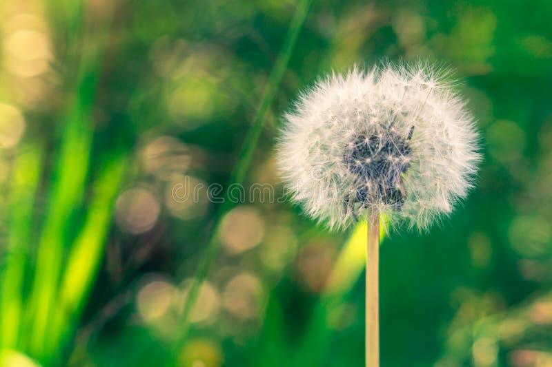 Biali puszyści dandelion ziarna zamknięci w górę dmuchania na zamazanym zielonym natury tle zdjęcie royalty free