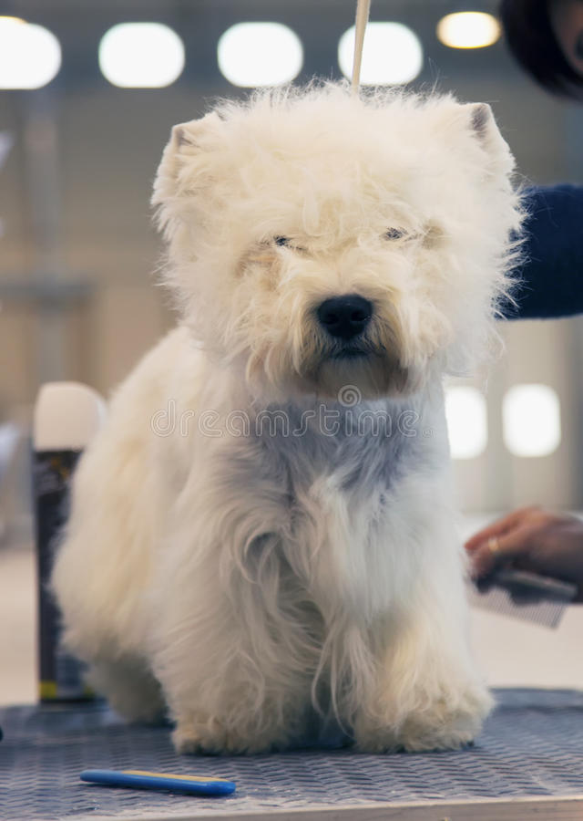 Download Biali średniogórza Terrier obraz stock. Obraz złożonej z zabawa - 53780659