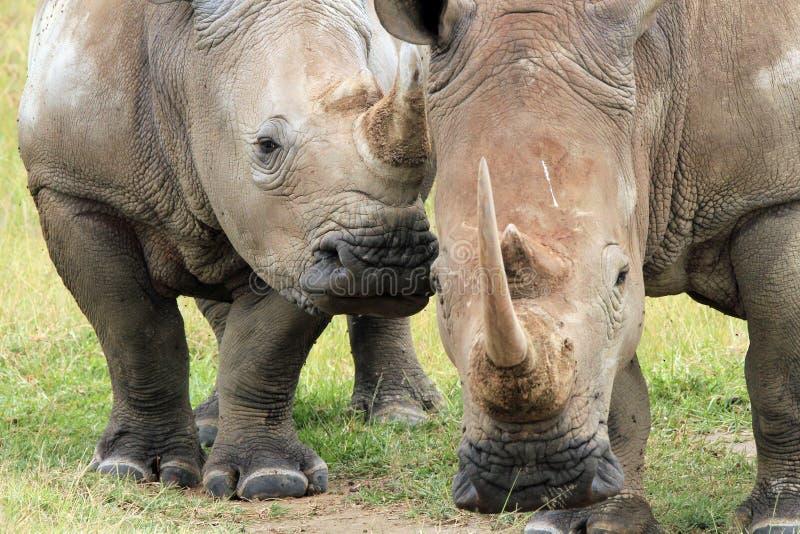 Biali Rhinos fotografia stock