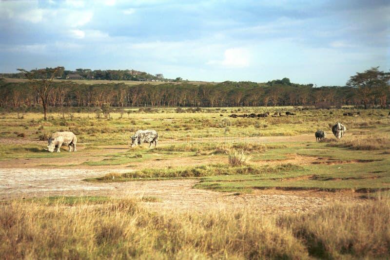 Biali rhinos, Jeziorny Nakuru park narodowy, Kenja fotografia royalty free