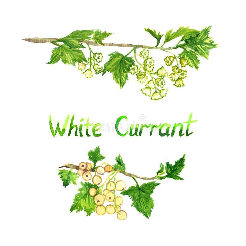 Biali rodzynki rozgałęziają się kwitnienie z dojrzałymi jagodami i royalty ilustracja