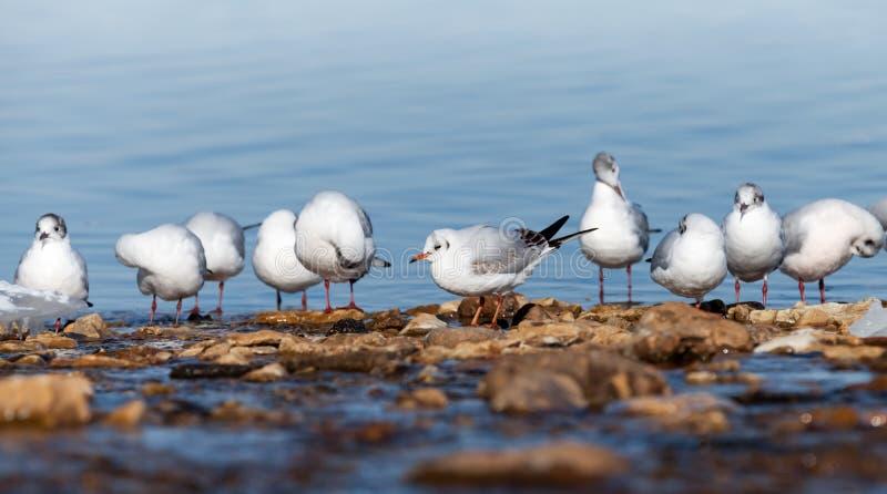 Biali seagulls siedzą na morzu obraz royalty free