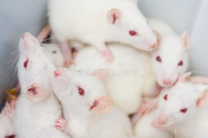 biali szczury obrazy stock
