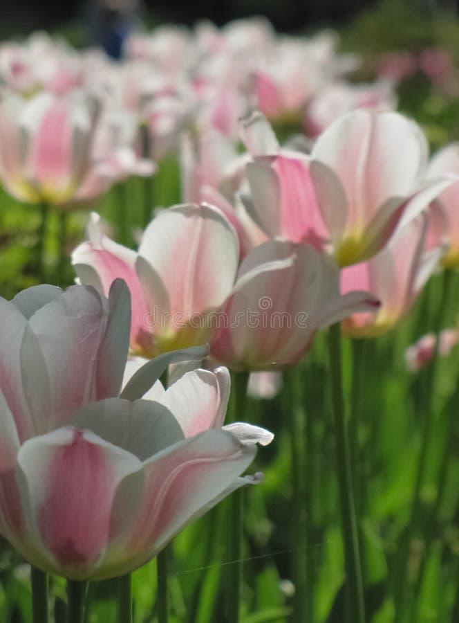 Biali tulipany z R??owymi akcentami, paj?czyny fotografia royalty free