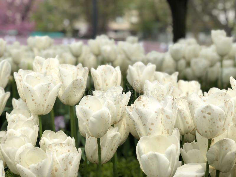 Biali tulipany z rozmytym tłem obraz royalty free