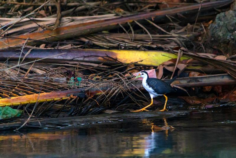 Biali waterhen lub Amaurornis phoenicurus chodzi obok rzeki fotografia royalty free