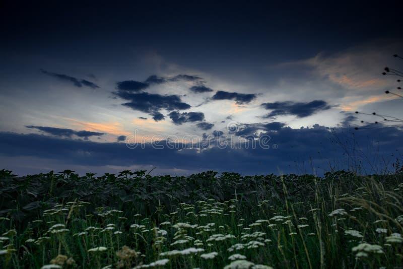 Biali wildflowers przy wieczór w polu Pi?kny zmierzch z zmrokiem niebieskie niebo, jaskrawy ?wiat?o s?oneczne i chmury -, zdjęcia stock