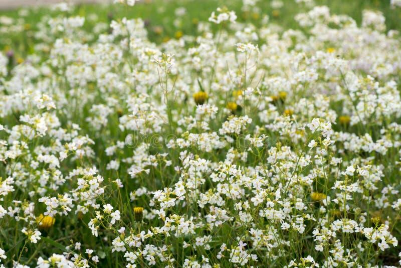 Biali wildflowers w łące obraz stock