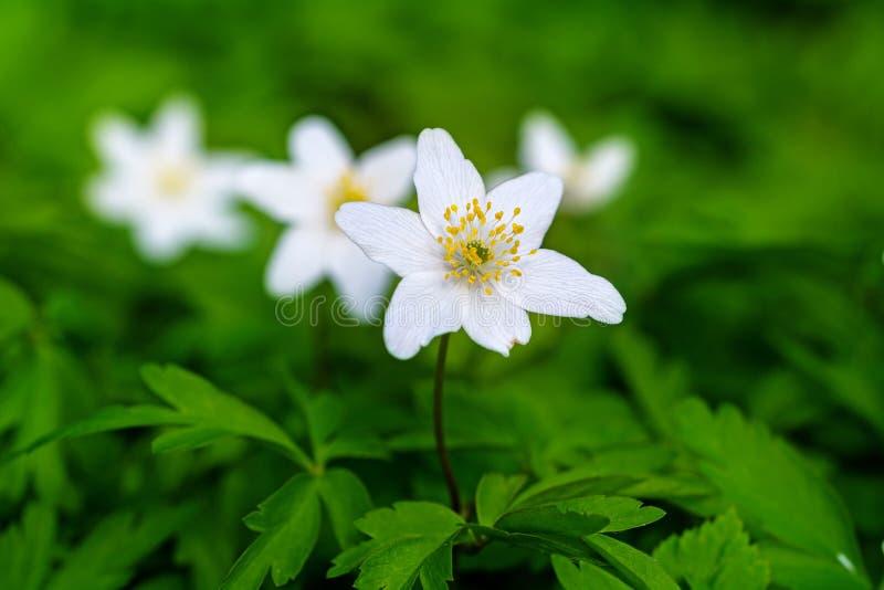Biali windflowers lub drewniani anemony w zieleni (anemonowy nemorosa) obraz royalty free
