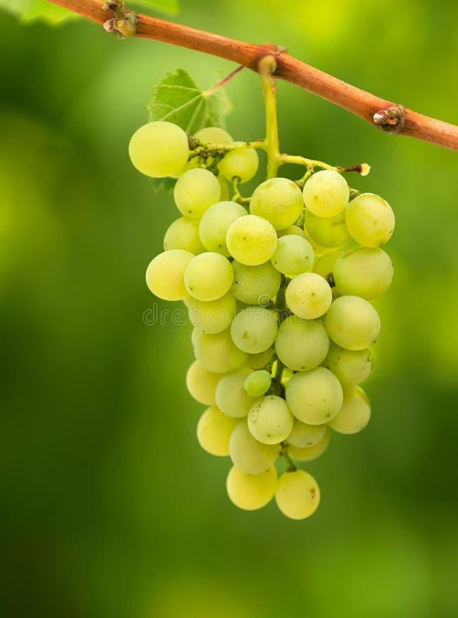 Biali winogrona zdjęcia stock
