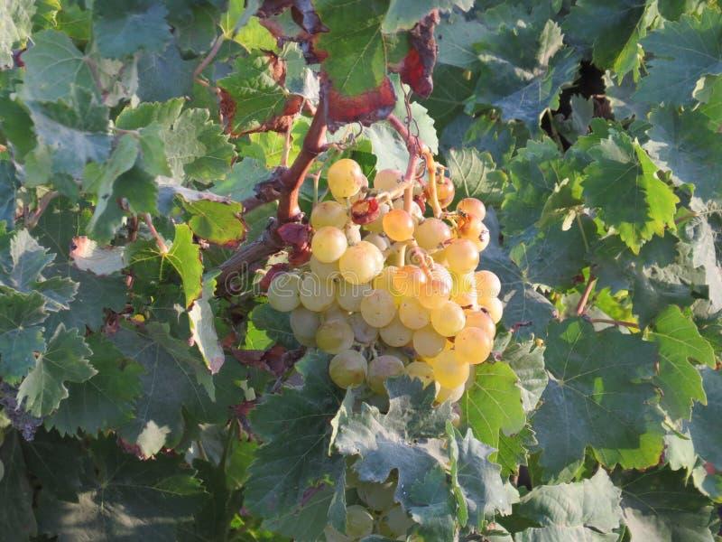 Biali winogrona czeka obracającym w wino zdjęcia stock