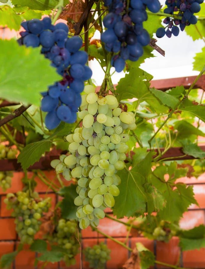 Biali winogrona w winnicy obraz royalty free
