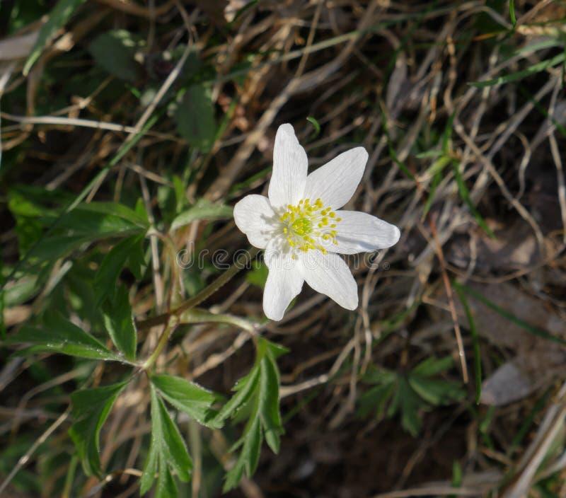 Biali wiosna krokusy w naturalnym świetle dziennym obrazy royalty free