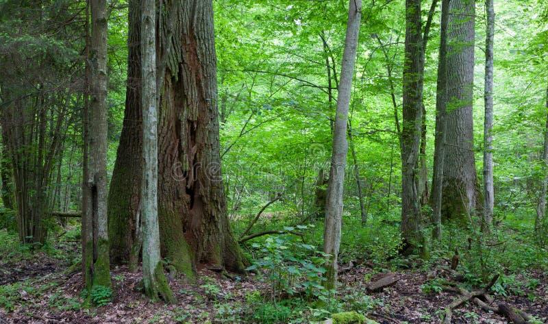 Bialowieza森林巨大的橡树  库存照片