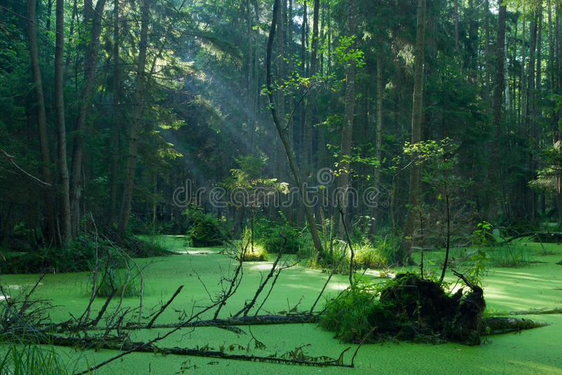 Bialowieza森林自然桤木carr立场日出的 免版税库存照片