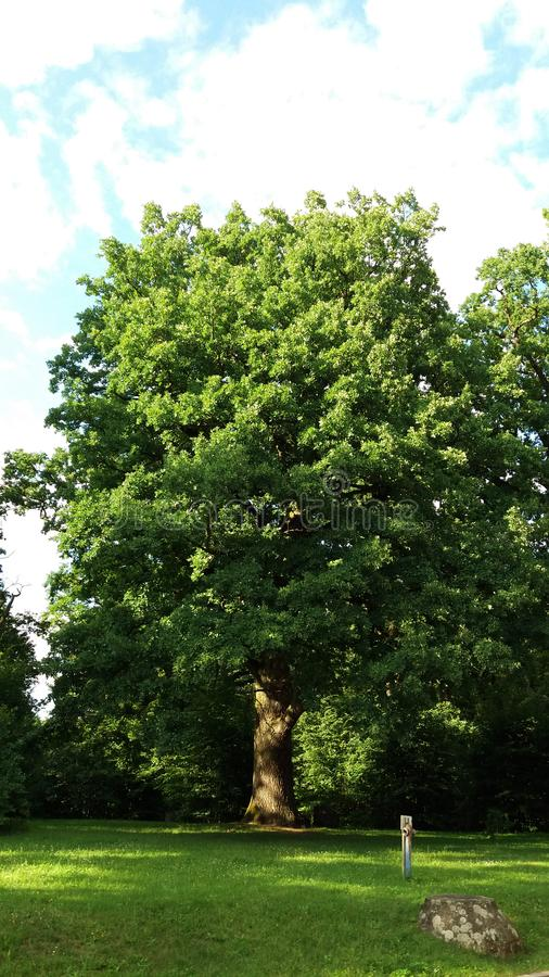 Bialowieza. Branches and trunk of deciduous oak, king of the forest. in the undercoat of trees. stock photo