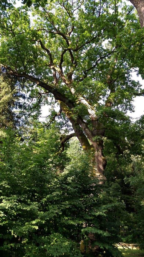 Bialowieza Filialer och stam av den lövfällande eken, konung av skogen i undercoaten av träd royaltyfri bild
