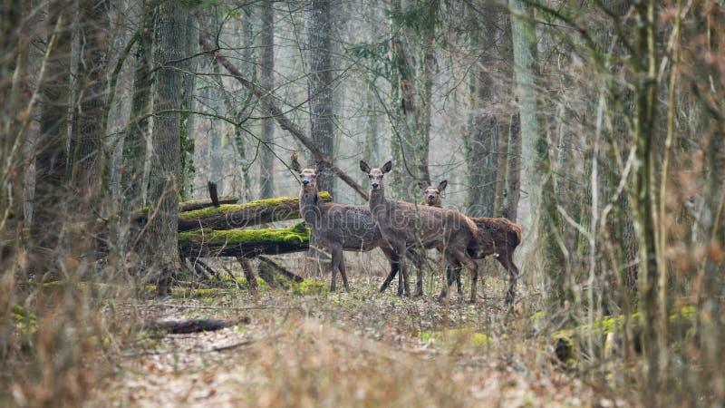 Bialowieza Forest, Belarus, Three surprised female deer. Spring Artistic Wildlife scene with Cervidae  Cervus Elaphus royalty free stock images
