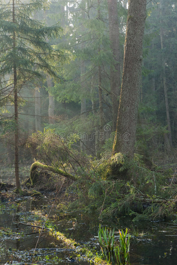 Bialowieza Forest riparian stand in morning. With alder and spruce tree illuminated stock photos