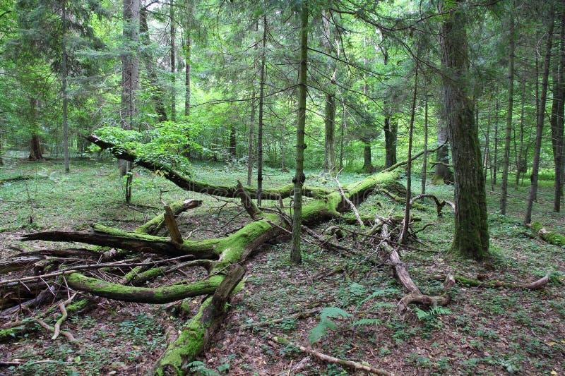 Bialowieza - foresta primigenia fotografie stock