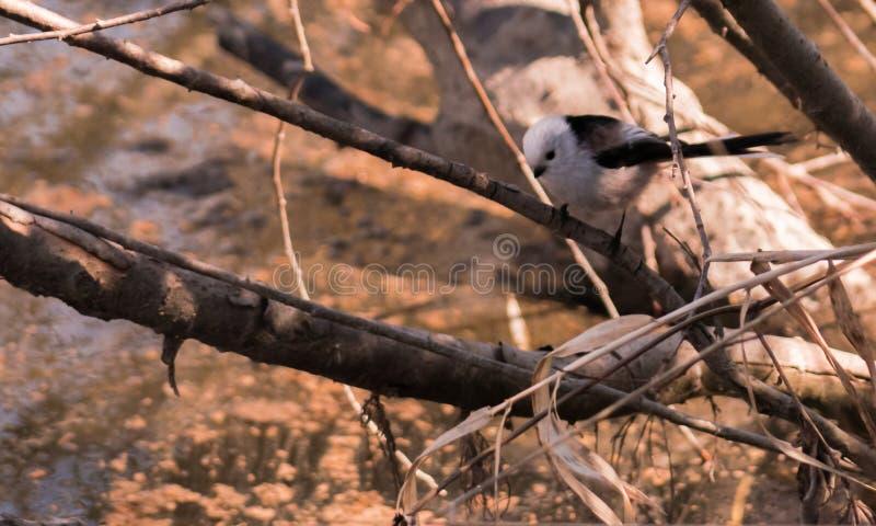 Bianca del tegumento del seme di Codibugnolo fotografia stock libera da diritti