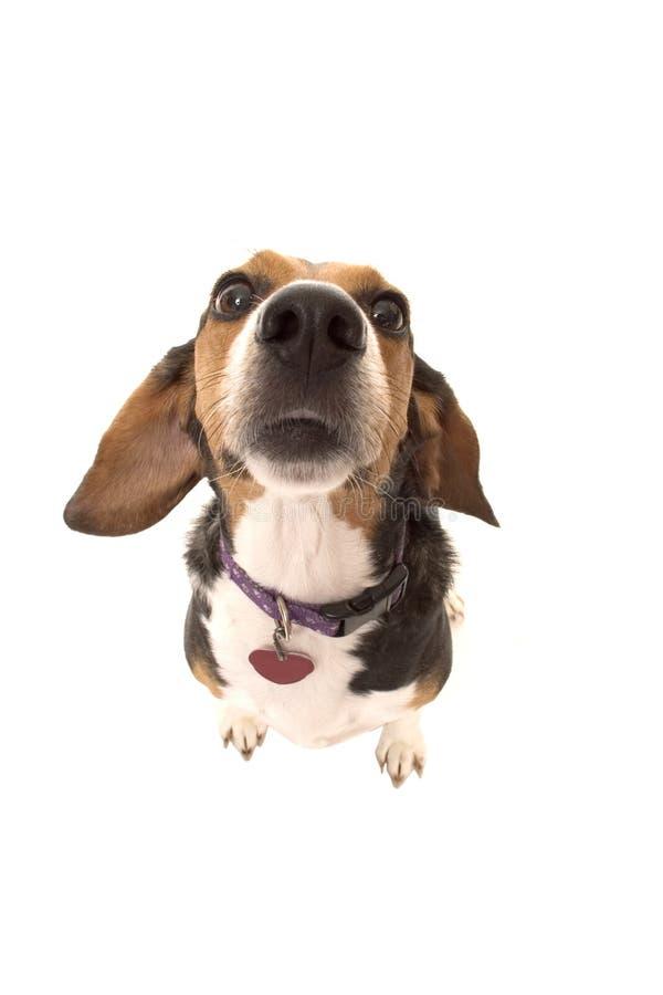 Bianca, o cão. foto de stock royalty free