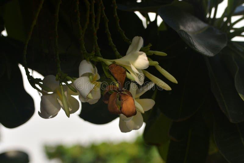 Bianchi e è i fiori asciutti hanno sottolineato - 2 fotografie stock