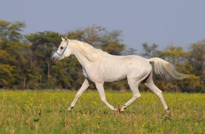 bianco arabo del cavallo fotografie stock