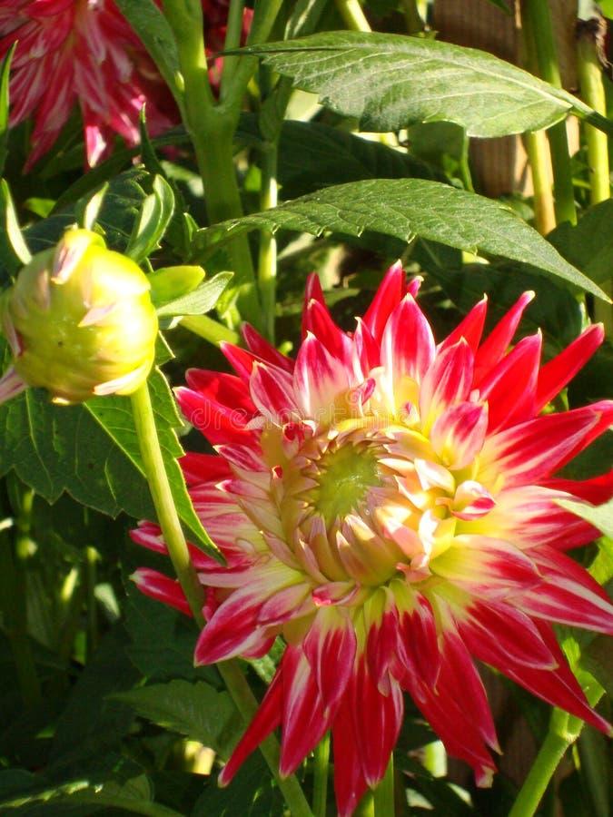 Bianco-color scarlatto vibrante del fiore e germoglio della dalia Primo piano fotografie stock