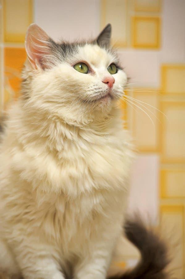 bianco con il gatto norvegese grigio della foresta fotografie stock