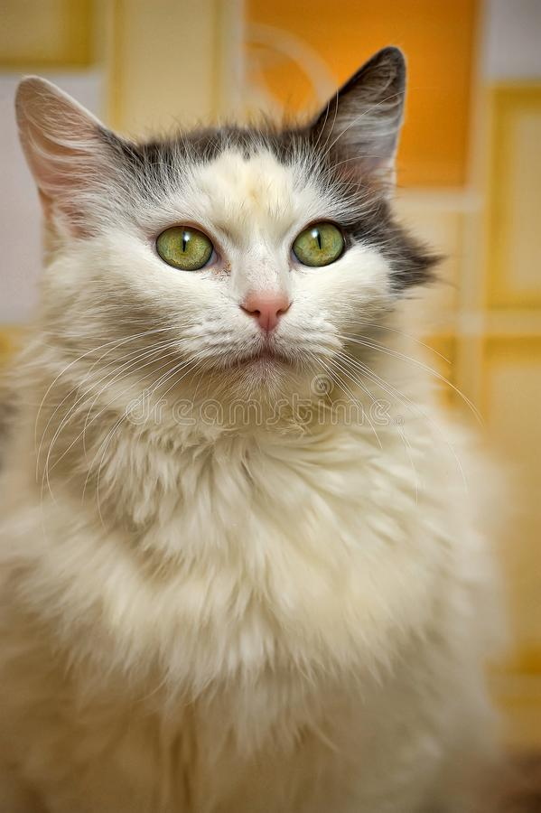bianco con il gatto norvegese grigio della foresta fotografia stock
