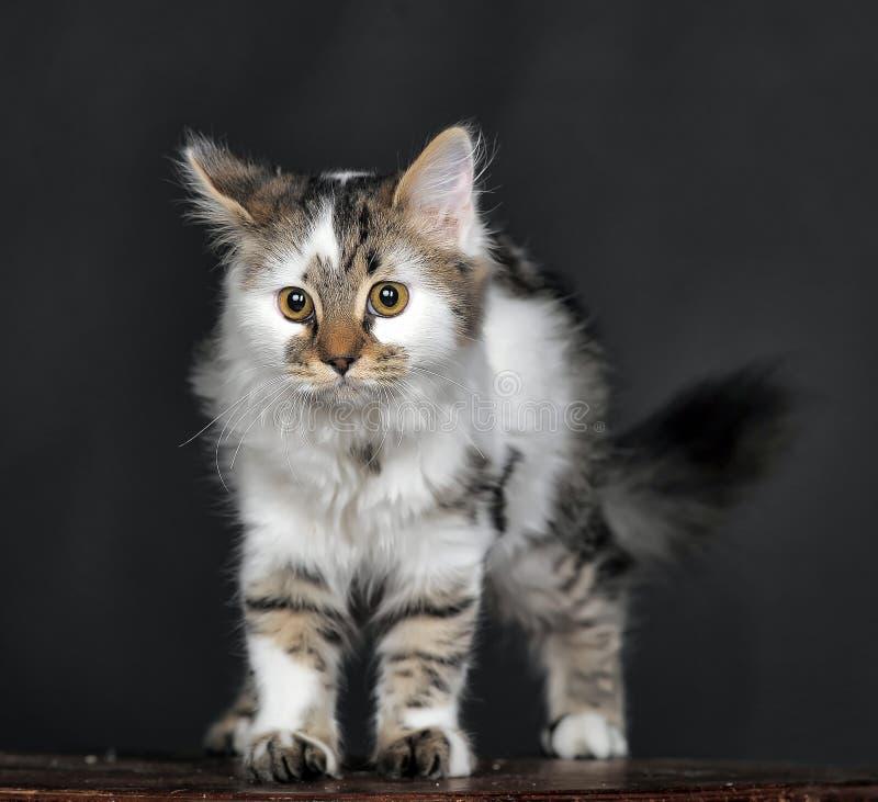 Bianco con il gatto a strisce dei punti fotografie stock libere da diritti