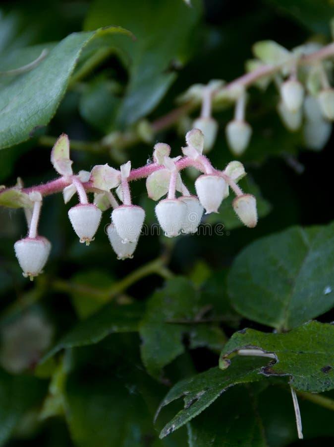 Bianco con Salal di fioritura rosa - shallon di pernettya - pianta fotografie stock