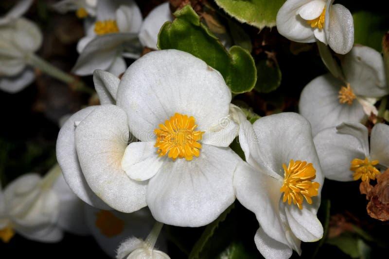 Bianco dei semperflorens della begonia, begonia immagine stock
