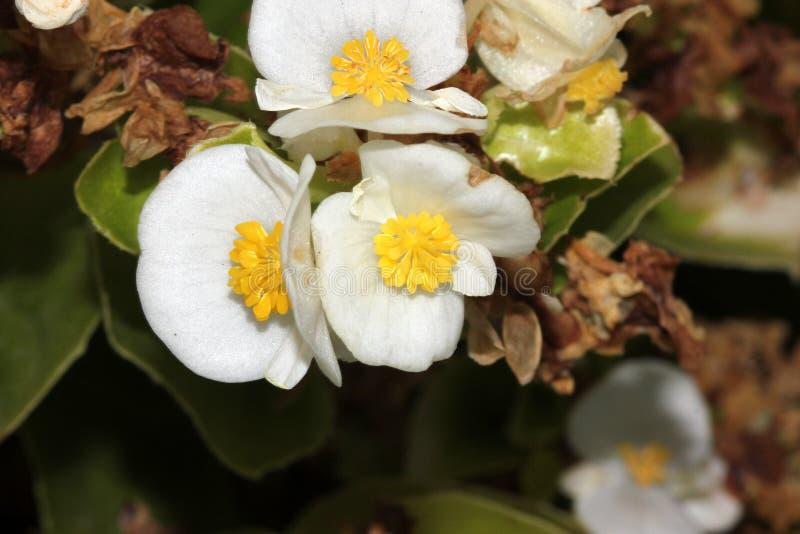 Bianco dei semperflorens della begonia, begonia fotografia stock libera da diritti
