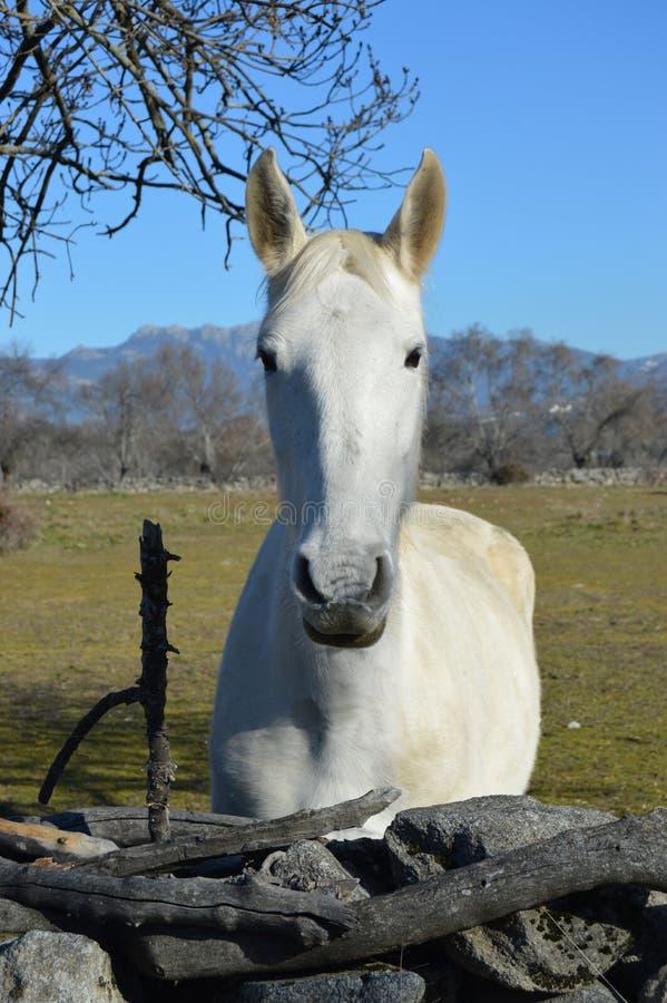 Bianco del cavallo nella natura immagini stock