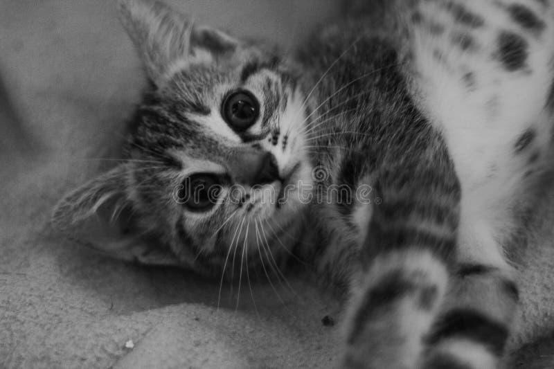 Bianco del giovane gatto e nero adorabili fotografia stock