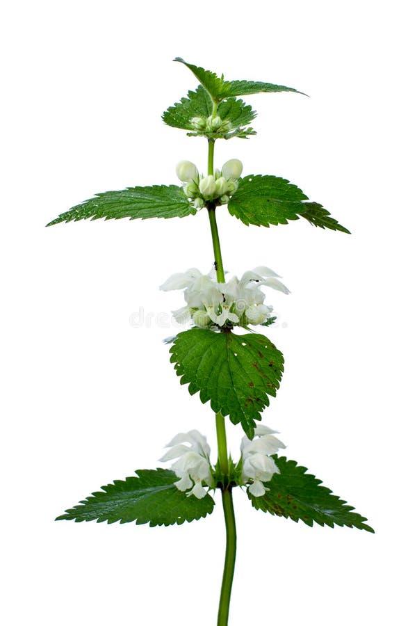 Bianco del Lamium fotografia stock libera da diritti